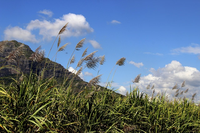 Paysage typiquement mauricien, fleur de canne sur fond d'azur intense et de montagne. © Anne Gisselbrecht