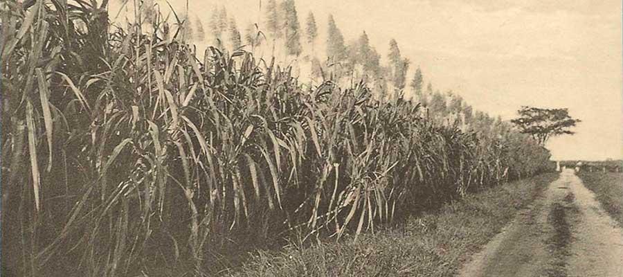 Trinidad : des français à l'origine du sucre local (1/3)