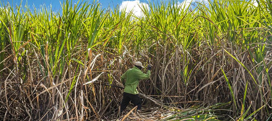 Martinique : le darwinisme du rhum agricole blanc