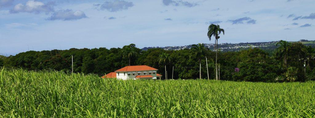 Mount Gay cane field