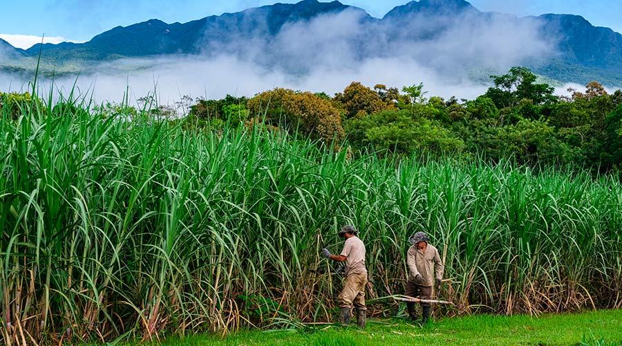 Novo Fogo - brazil crop sugarcane