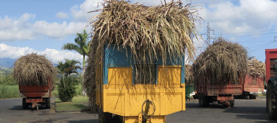 Dossier – Le rhum à La Réunion #2 : Canne à sucre, une filière en débat
